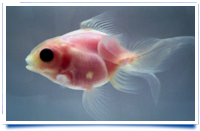 See-Through Goldfish Bred!